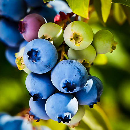 Buy Powder Blue Blueberry Bushes Online The Tree Center