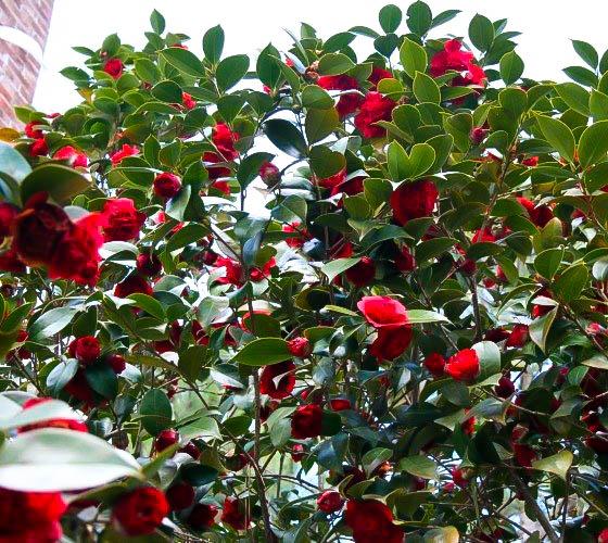 professor sargent camellias for sale online the tree center�