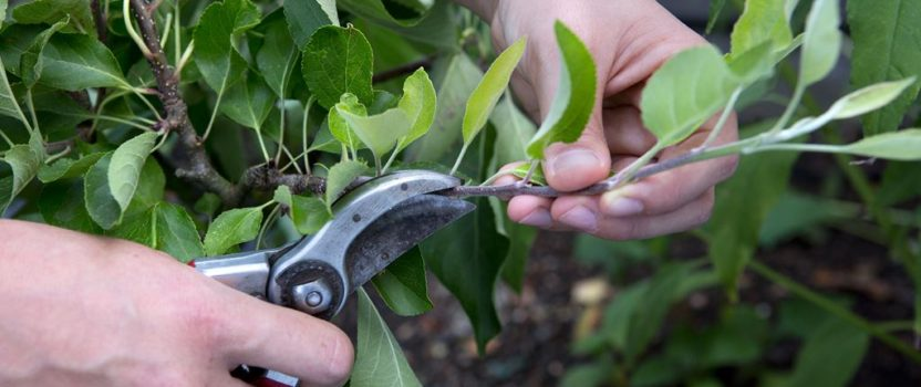 Tips on Pruning Shrubs and Flowering Trees