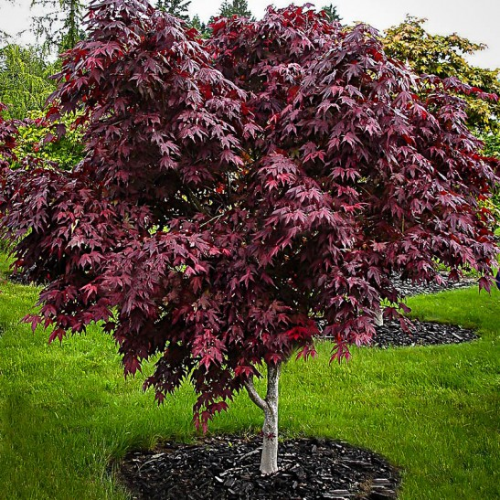 Purple Ghost Japanese Maple For Sale Online The Tree Center