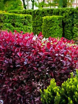 Purple Leaf Sandcherry