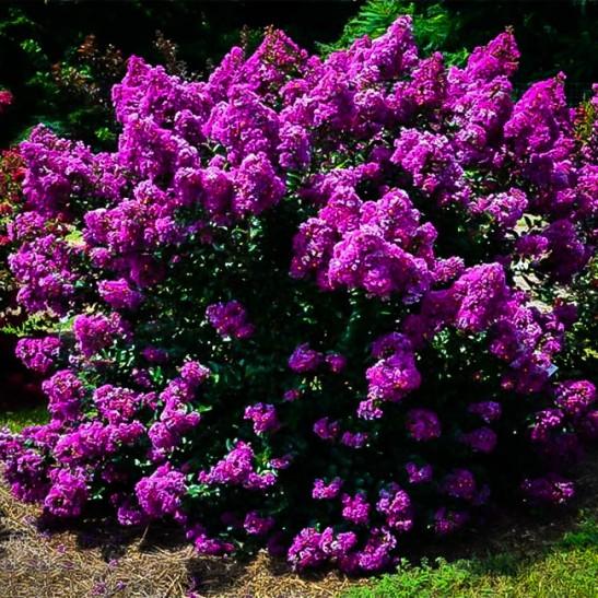 Small Lilac Bush