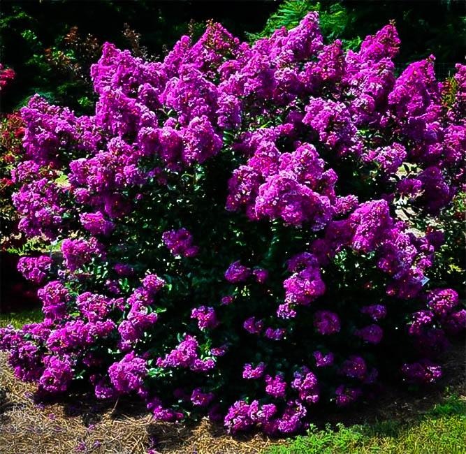 Purple Magic Crape Myrtle For Sale Online The Tree Center