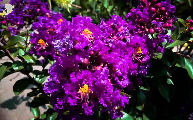 Purple Magic Crape Myrtle The Tree Center