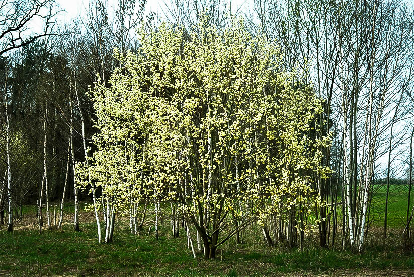 Pussywillow tree