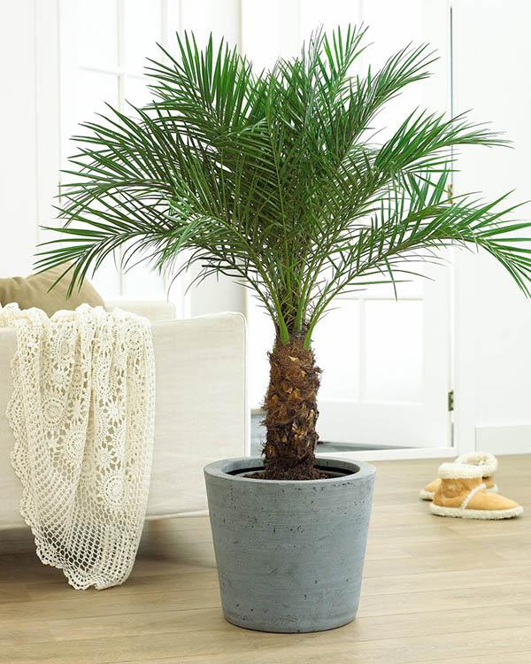 Pygmy date palm in Brisbane