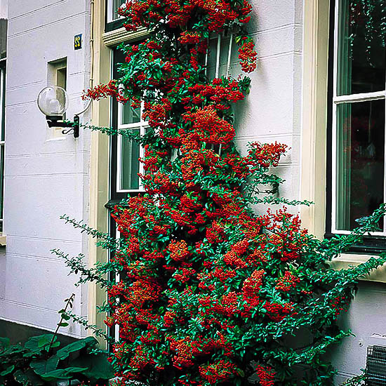 Victory Pyracantha Firethorn The Tree Center