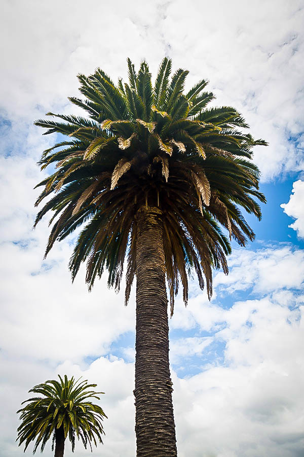 Mature palm trees for sale-8282