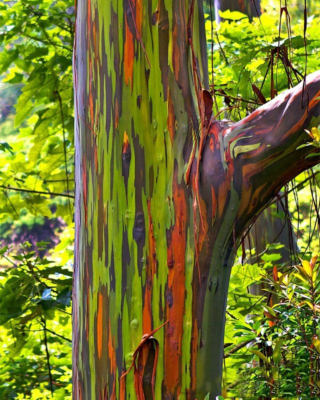 Rainbow Eucalyptus Tree For Sale Online The Tree Center
