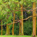 Group of Rainbow Eucalyptus Trees