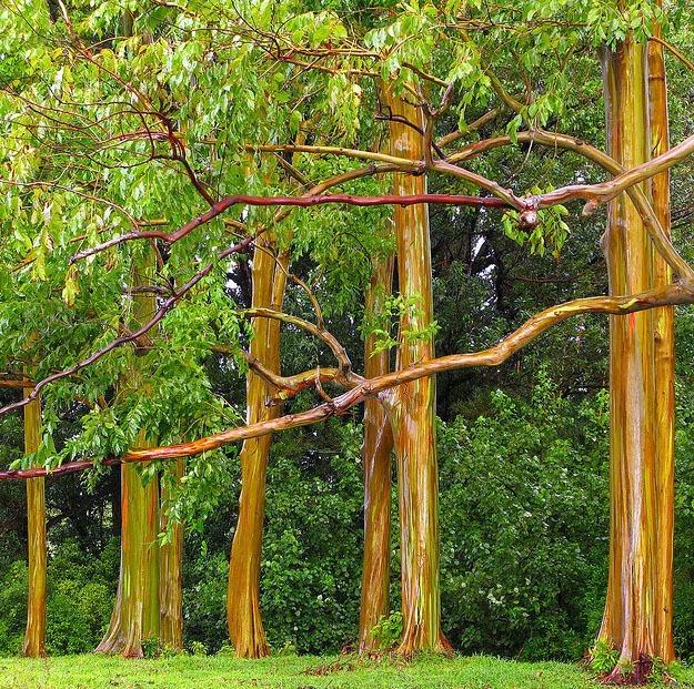 Mature Rainbow Eucalyptus Tree Group Of Rainbow Eucalyptus Trees