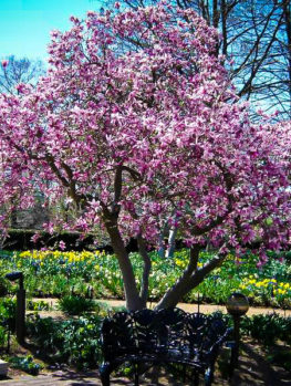 Magnolia tree for sale online the tree center randy magnolia sold out read more mightylinksfo