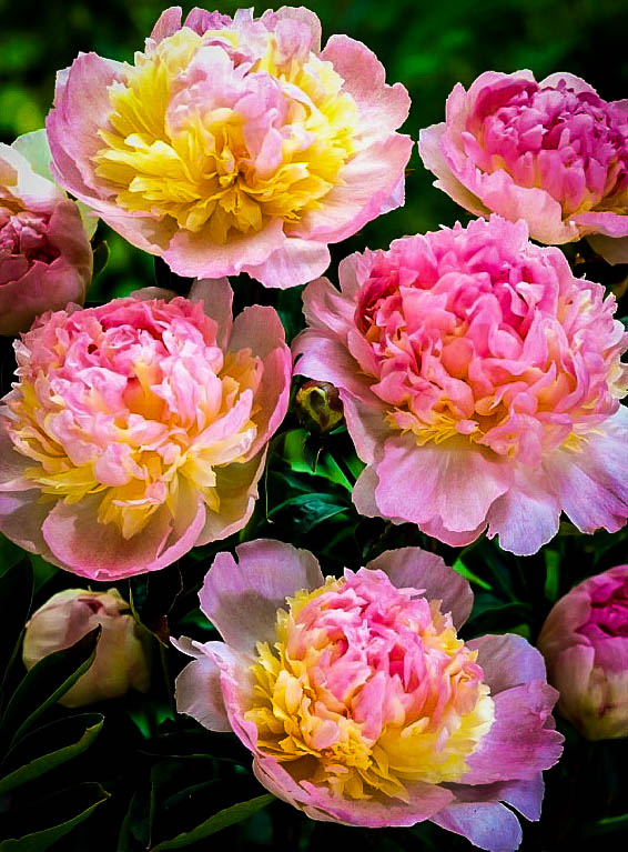 Peony Raspberry Sundae For Sale Online The Tree Center
