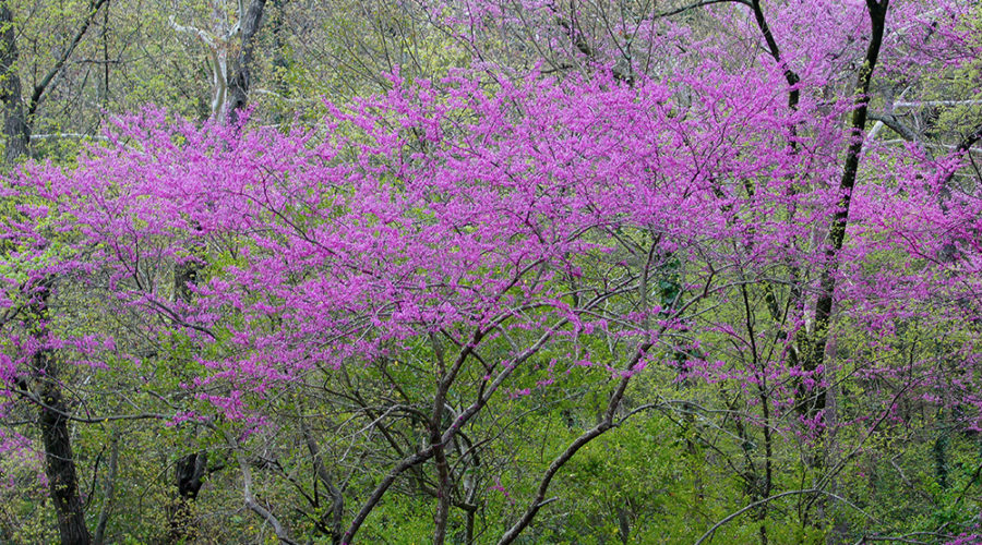 Jump-start Spring with These 5 Early-blooming Shrubs