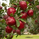 Red Delicious Apples On Tree