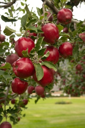 Red Delicious Apple Trees For Sale | The Tree Center