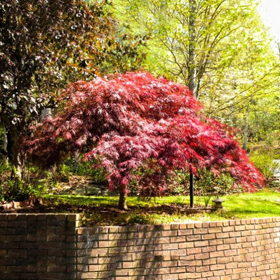 Red Dragon Japanese Maple The Tree Center