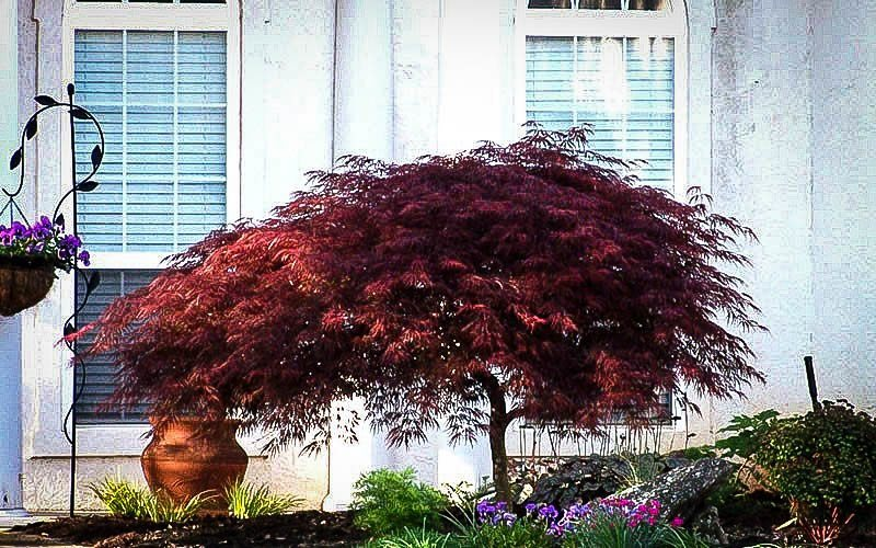 Red Dragon Japanese Maple For Sale Online The Tree Center