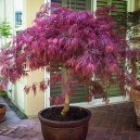 Potted Red Dragon Japanese Maple Tree