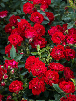 Red Drift® Rose