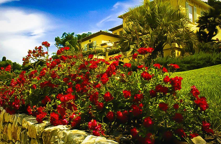 Red Drift 174 Rose Bushes For Sale Online The Tree Center