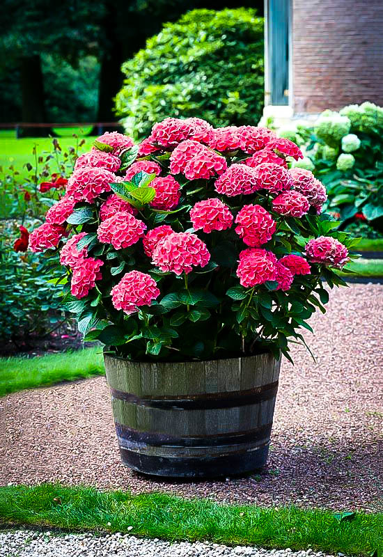 Red Sensation Hydrangeas For Sale Online The Tree Center