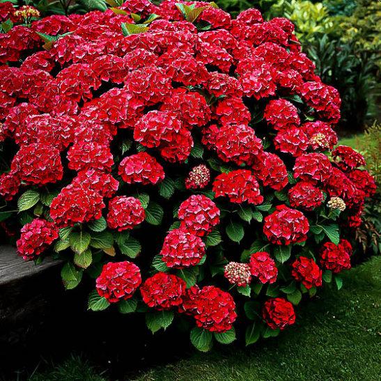 Red Sensation Hydrangeas For Sale Online The Tree Center