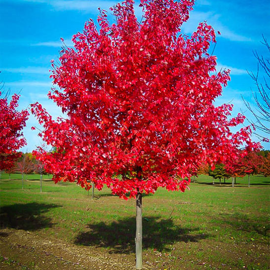 Red Sunset Red Maple The Tree Center