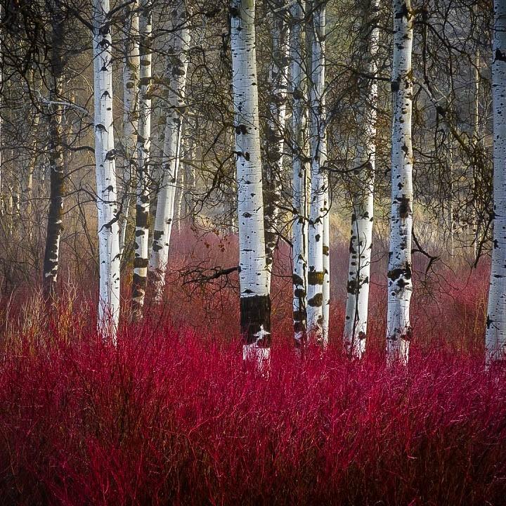 Red Twig Dogwood Tree