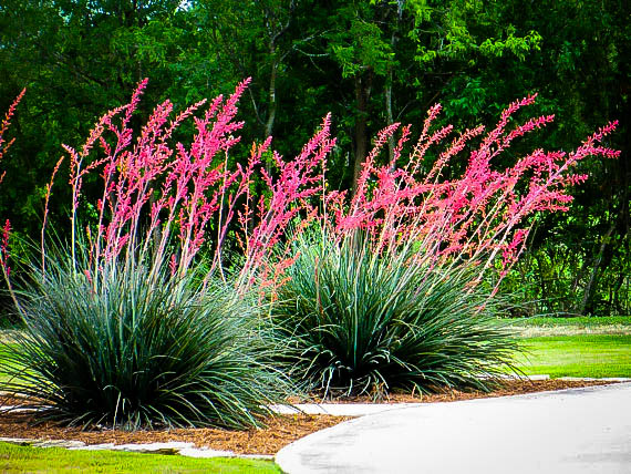 Texas Red Yucca Plants For Sale Online The Tree Center