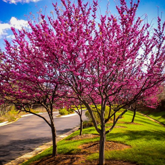Appalachian Redbud Trees For Sale Online | The Tree Center™