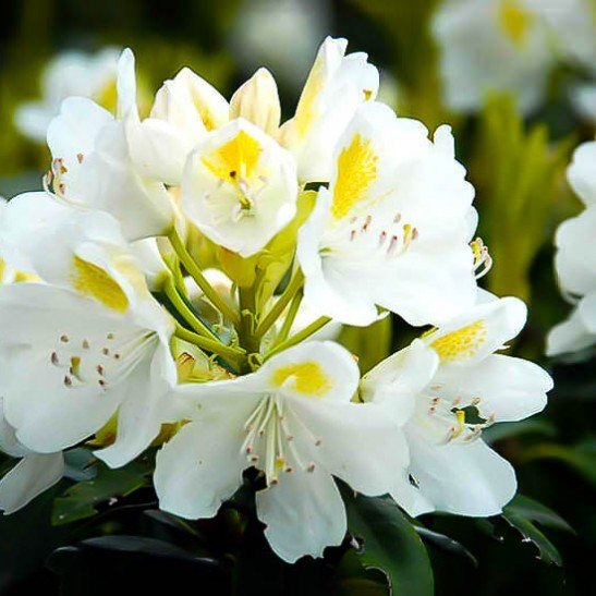 Lemon Ice Rhododendron Chionoides For Sale Online The