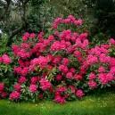 Red Rhododendron Nova Zembla