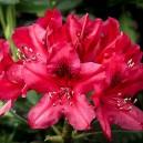 Nova Zembla Red Rhododendron Flower