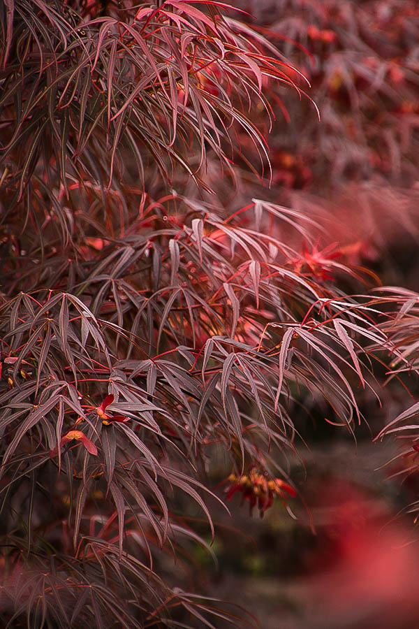 Ribbon Leaf Japanese Maple Trees For Sale The Tree Center