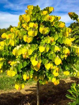 The Rising Sun Redbud Tree