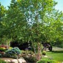 River Birch Landscaping