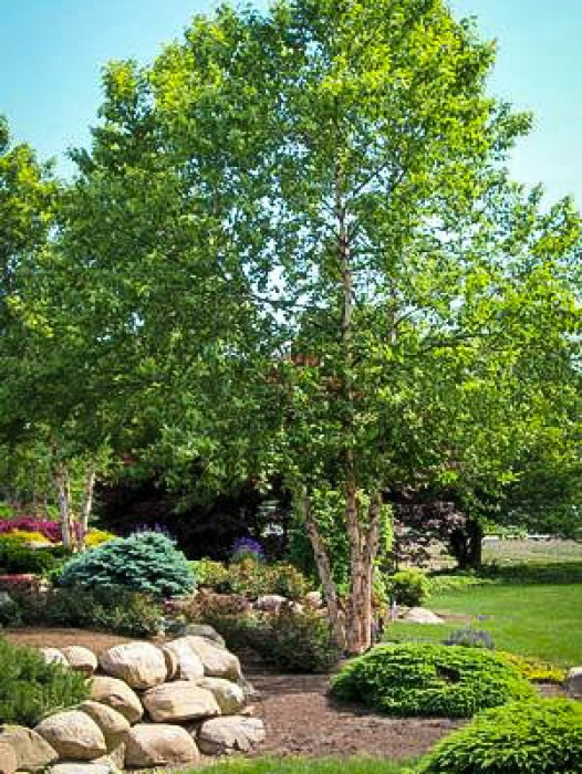 Buy Weeping Willow Trees Online The Tree Center