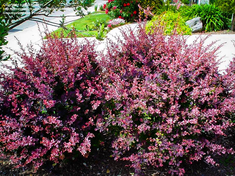 Rose Glow Rosy Glow Barberry The Tree Center