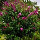 royal-red-butterfly-bush-2