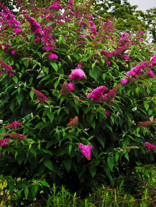 Buy Butterfly Bush Online The Tree Center