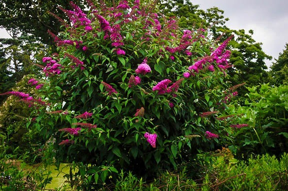 Brand new Royal Red Butterfly Bush For Sale | The Tree Center™ DA71