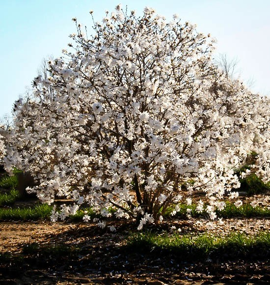 Royal star magnolia tree for sale online the tree center for Magnolia tree