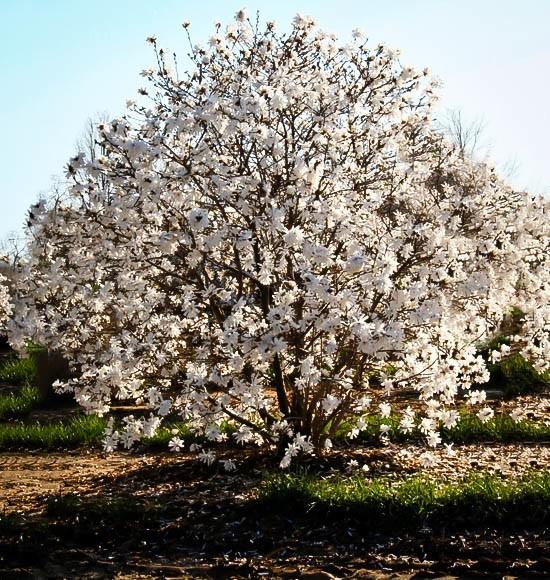 Royal Star Magnolia Tree The Tree Center