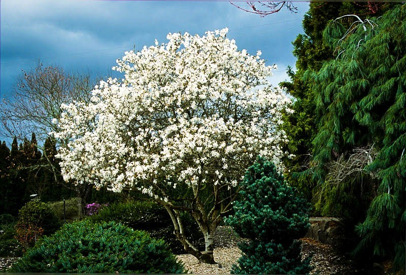 Royal Star Magnolia Tree For Sale Online The Tree Center