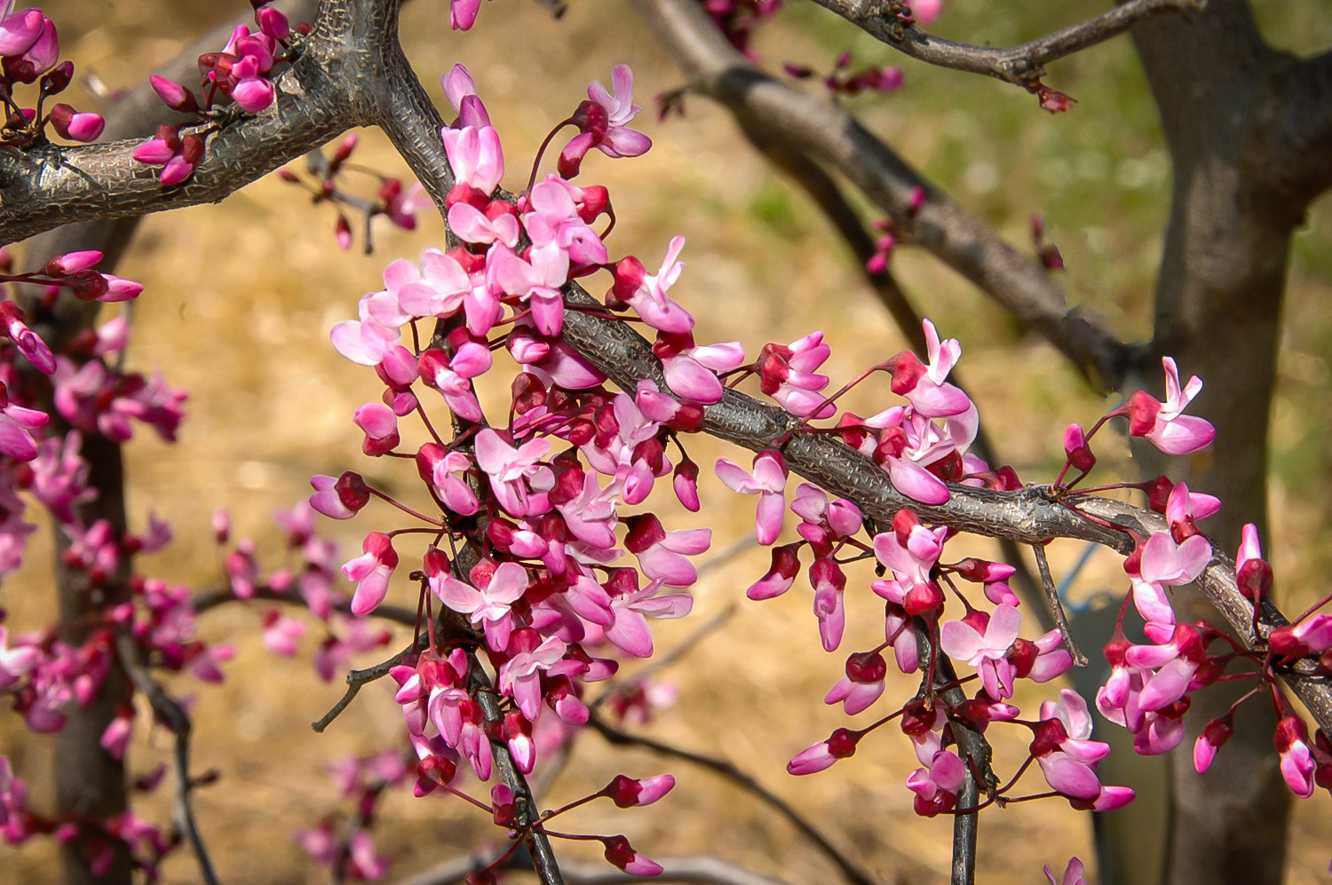 Ruby Falls Weeping Redbud Trees For Sale The Tree Center
