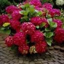 ruby-slippers-hydrangea-2