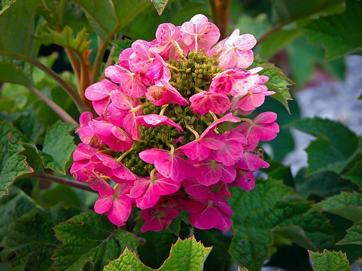 Ruby Slippers Hydrangea For Sale Online The Tree Center