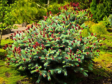 Ruby teardrops colorado spruce the tree center for Gardening zones colorado