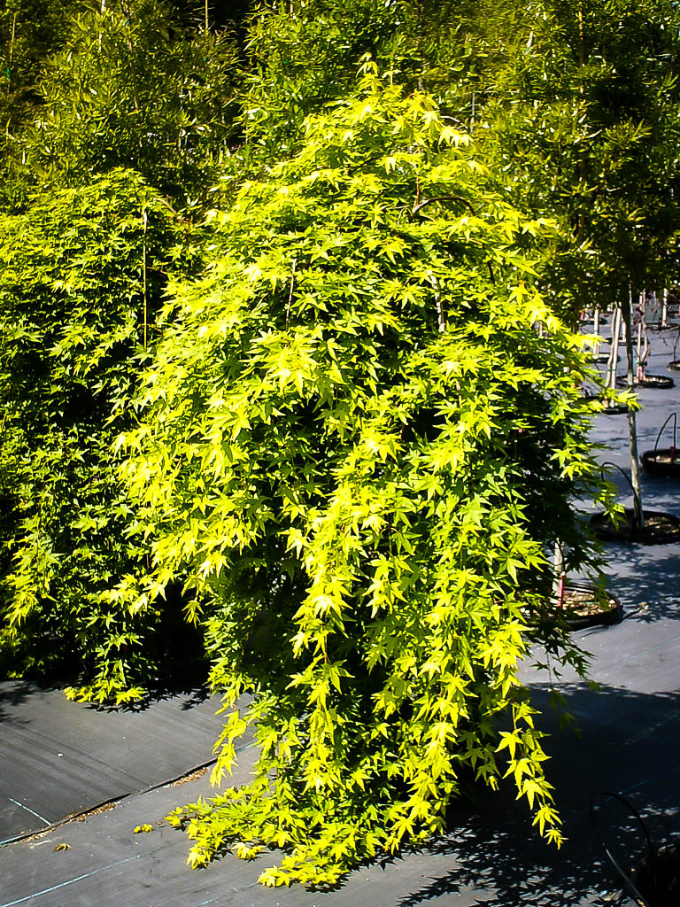 Buy Japanese Maple Trees | The Tree Center™